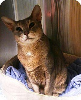 Abyssinian Cat for adoption in Elmhurst, New York - Ziggy