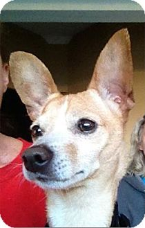 Chihuahua Mix Dog for adoption in Freeport, New York - Winston