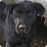 Labrador Retriever Mix Dog for adoption in Baton Rouge, Louisiana - Tar