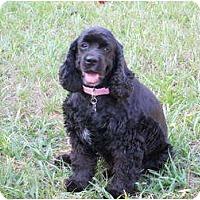 Adopt A Pet :: Fancy - Sugarland, TX