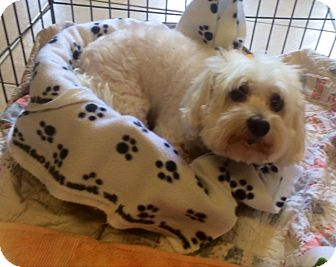 Maltese Dog for adoption in Boca Raton, Florida - Gracie