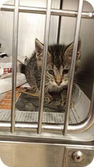 Domestic Shorthair Kitten for adoption in Huntington Station, New York - WHISKERS