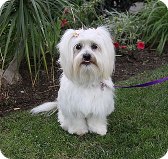 Lhasa Apso Mix Dog for adoption in Newport Beach, California - JUSTINE