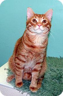 Domestic Shorthair Cat for adoption in union, Missouri - Magnus