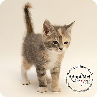 Domestic Shorthair Kitten for adoption in Troy, Ohio - Harriet
