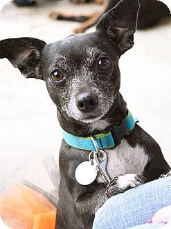 Chihuahua Mix Dog for adoption in Homewood, Alabama - Maebe
