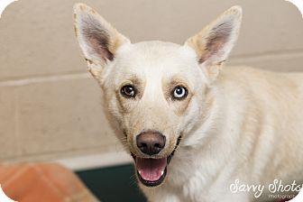 Labrador Retriever/Husky Mix Puppy for adoption in Greensburg, Pennsylvania - Marcus