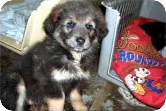 Shepherd (Unknown Type)/Collie Mix Puppy for adoption in Ephrata, Pennsylvania - Shep # 6