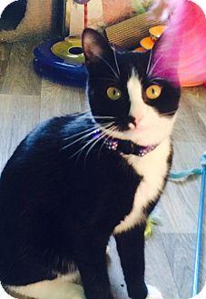 Domestic Shorthair Cat for adoption in Irwin, Pennsylvania - Sammy