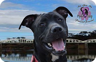 Labrador Retriever/English Bulldog Mix Dog for adoption in Spring Hill, Florida - Milo
