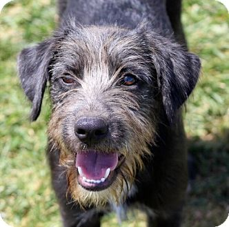 Wirehaired Pointing Griffon Mix Puppy for adoption in Liberty Center, Ohio - Ruffus