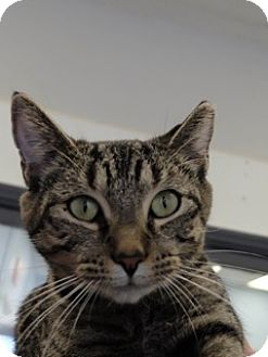Domestic Shorthair Cat for adoption in Martinsville, Indiana - Donna