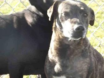 Plott Hound Dog for adoption in Rogers, Arkansas - GEORGIA