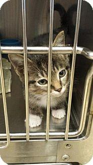 Domestic Shorthair Kitten for adoption in Sauk Rapids, Minnesota - Jaguar