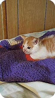 Domestic Shorthair Kitten for adoption in Freehold, New Jersey - Patches
