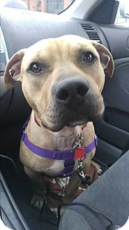 American Staffordshire Terrier/Pit Bull Terrier Mix Dog for adoption in Chicago, Illinois - Bravo