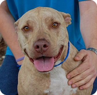American Bulldog/American Pit Bull Terrier Mix Dog for adoption in Las Vegas, Nevada - Lovey