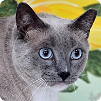 Siamese Cat for adoption in Englewood, Florida - Minky