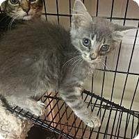Adopt A Pet :: Cloe - Forest Hills, NY