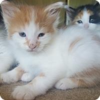 Adopt A Pet :: Oberon - Oakland, MI