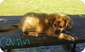 German Shepherd Dog Mix Puppy for adoption in Twinsburg, Ohio - Caitlin