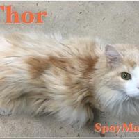 Adopt A Pet :: Thor - Metairie, LA