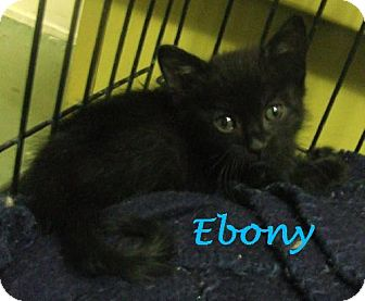 Domestic Shorthair Kitten for adoption in Alturas, California - Shadow