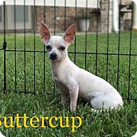 Adopt A Pet :: Buttercup - Beaumont, TX
