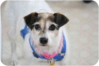 Jack Russell Terrier Dog for adoption in Thomasville, North Carolina - D'Laila