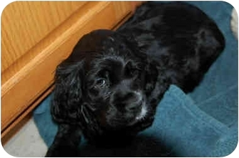 Cocker Spaniel/Cocker Spaniel Mix Puppy for adoption in Mentor, Ohio - Carson-ADOPTED