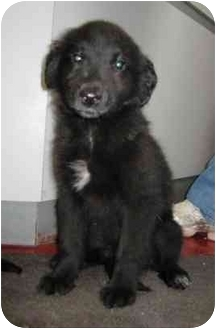 Labrador Retriever Mix Puppy for adoption in Florence, Indiana - Fluffy