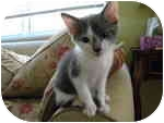 Domestic Shorthair Kitten for adoption in Tampa, Florida - Toby