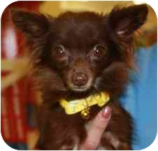 Chihuahua Dog for adoption in Cheney, Kansas - Jewell