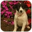 Photo 1 - Spaniel (Unknown Type) Mix Puppy for adoption in Jackson, Tennessee - Jamie