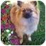 Photo 2 - Pomeranian Dog for adoption in Los Angeles, California - AUTUMN