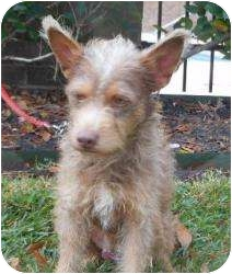 Terrier (Unknown Type, Small) Mix Dog for adoption in Kingwood, Texas - Marty