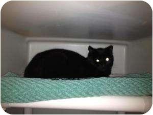 Domestic Shorthair Cat for adoption in Warren, Michigan - Neutlet