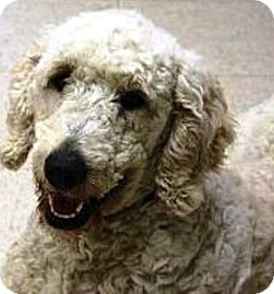 Poodle (Standard) Puppy for adoption in Oswego, Illinois - I'M ADOPTED Phoebe Laatsch