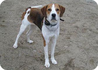 Hound (Unknown Type) Mix Dog for adoption in Acushnet, Massachusetts - Gina
