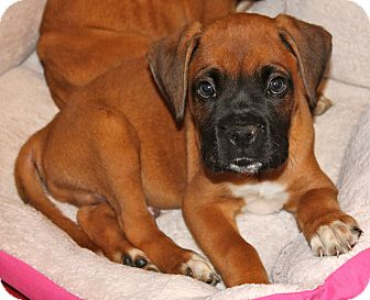 Boxer Mix Puppy for adoption in Los Angeles, California - Joey