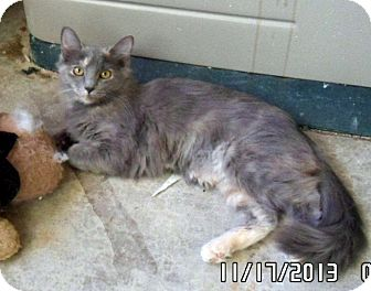 Domestic Longhair Cat for adoption in Gilbert, Arizona - Ella