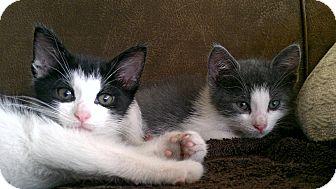 Domestic Shorthair Kitten for adoption in Ardsley, New York - Ouzo & Feta
