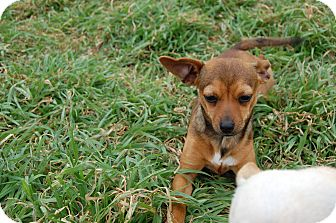 Chihuahua/Dachshund Mix Dog for adoption in Kempner, Texas - Twix