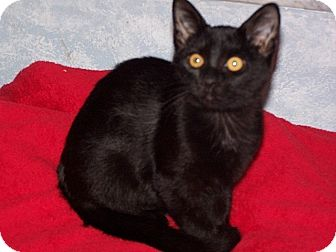 American Shorthair Kitten for adoption in Tampa, Florida - Beatris