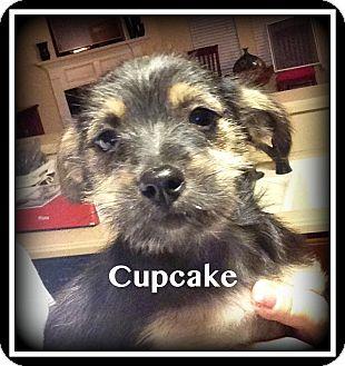 Shih Tzu Mix Puppy for adoption in Indian Trail, North Carolina - Cupcake