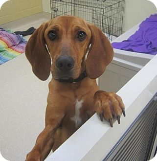Redbone Coonhound Dog for adoption in El Cajon, California - Faith-Courtsey Posting Only