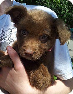 Shepherd (Unknown Type)/Labrador Retriever Mix Puppy for adoption in SOUTHINGTON, Connecticut - Bear