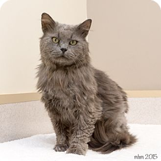 Domestic Mediumhair Cat for adoption in Naperville, Illinois - Linc