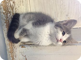 Domestic Shorthair Kitten for adoption in Greensburg, Pennsylvania - Dixon
