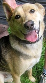 Shepherd (Unknown Type)/Collie Mix Dog for adoption in Staten Island, New York - Buddy